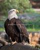 "Bald Eagle, ""Sureshot"""