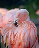 Chilean Flamingo doing a little preening.
