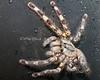 Sri Lankan Tarantula, part of the special tarantula exhibit in the South American Aviary.
