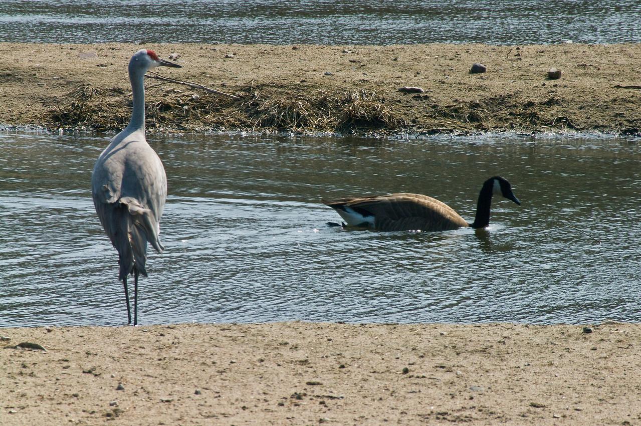Crane and goose