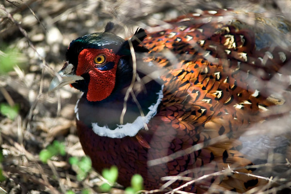"<font size=""3"">I spotted this pheasant hiding in the brush.</font>"
