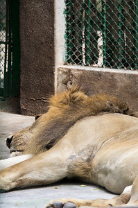 Lion (Leo)
