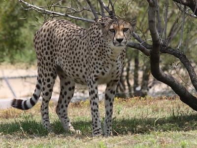 San Diego Zoo Cheetah