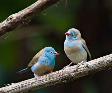 Blue-capped Cordon Blue