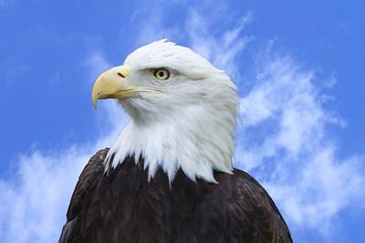 Bald Eagle, San Diego Wildlife Park