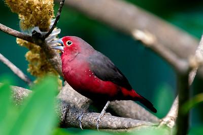 African Fire Finch
