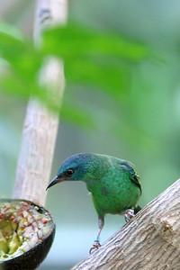Blue  Dacnis - Female