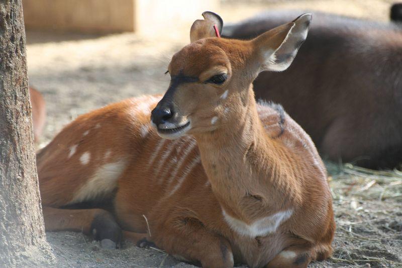 East African Sitatunga baby