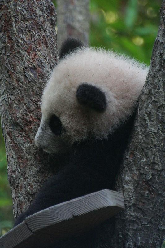 Giant Panda - Su Lin (born Aug 2, 2005)
