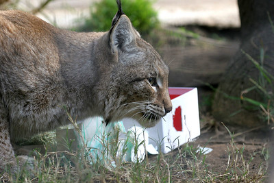 Siberian Lynx with enrichment item...