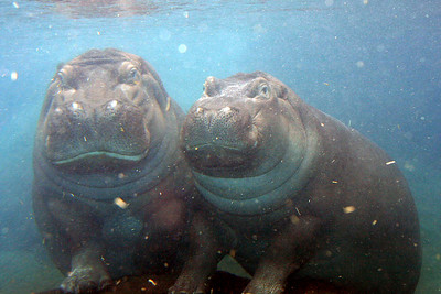 Hippos...  Mother and daughter.