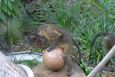 Golden Bellied Mangabey with treat ball...