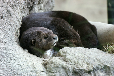 African Spot-Necked Otters