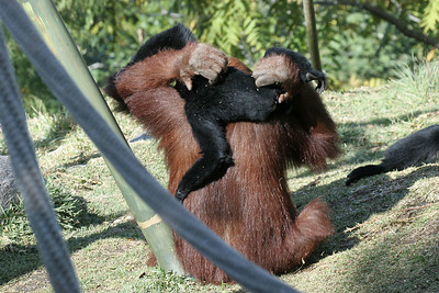 Siamang back scratcher...