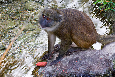 Juvenile Swamp Monkey...