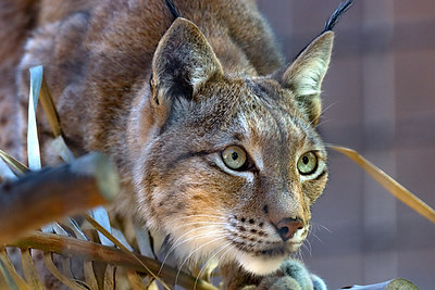 Siberian Lynx...  watching for the keeper.