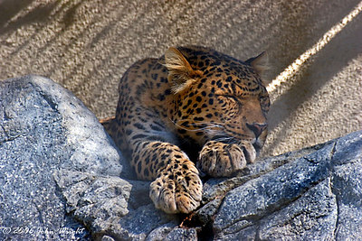 North Chinese Leopard at the San Diego Zoo