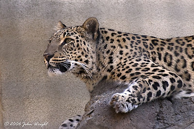 Persian Leopard at the San Diego Zoo