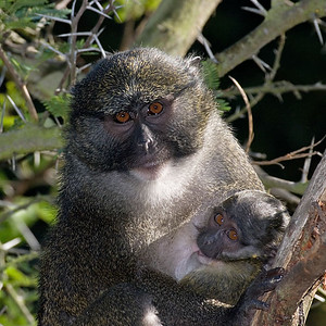Murrie and her baby...  Allen's Swamp Monkeys