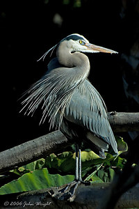 Great blue Heron hanging out at the Hippo pool, San Diego Zoo