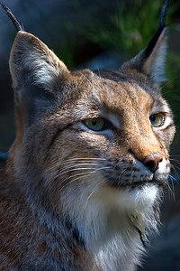 Siberian Lynx...
