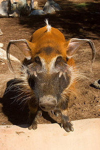 Red River Hog...Raha