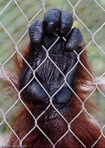 Orangutan at the LA Zoo
