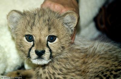 Cheetah cub in the nursery