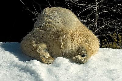 Bear butt...