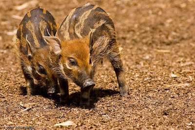 African Red River Hog piglets