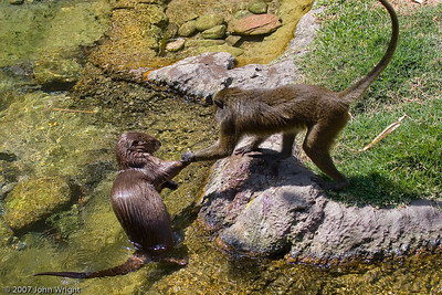 Interaction between an African Spot-Necked Otter and an Allen's Swamp Monkey
