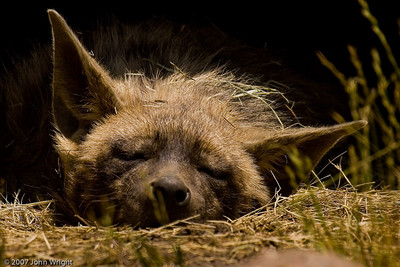 Sleeping Spotted Hyena