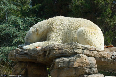 Kalluk, adult male Polar Bear
