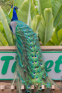 Peacock on the ticket booth