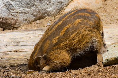 African Red River Hog piglet