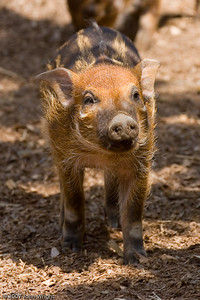 Young Red River Hog