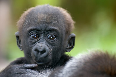 Another baby Gorilla...  A little soft, but I love the expression.
