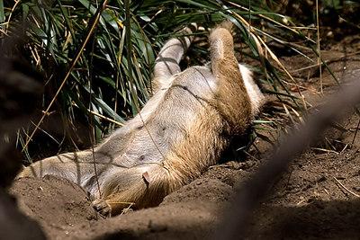 Meerkat...