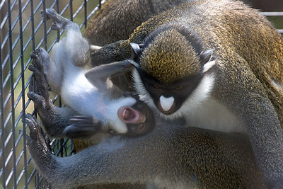 Lesser Spot-Nosed Guenon baby.  The first birth in the Zoo's new Monkey Trails exhibit.