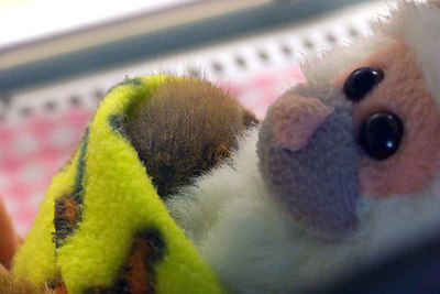 Infant pigmy Slow Loris in the Children's Zoo nursery.  That's the top of it's head on the left...