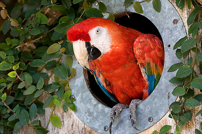 Scarlet Macaw in the Children's Zoo.