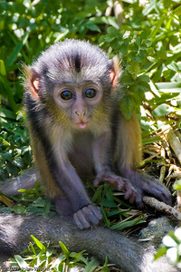 Infant Wolf's Guenon