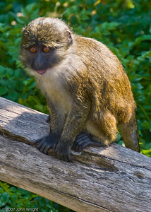 Kinah, young female Swamp Monkey