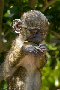 Young male Swamp Monkey