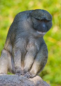 Koni, male Swamp Monkey
