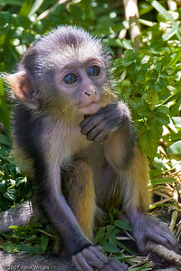 Five-day old Wolf's Guenon