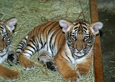 Tiger Cubs, Litter 1