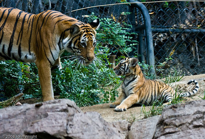 Tiger cub and momma...