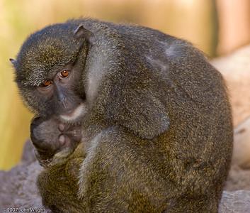 Allen's Swamp Monkey with baby