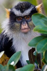 Juvenile Wolf's Guenon
